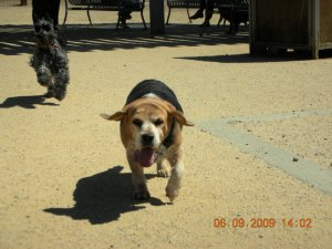Gracie being chased by Scots Terrier w/ pee fetish. She passed away in April 2011.
