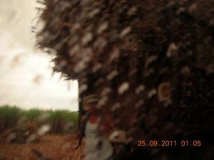 Loading sugar cane, a hacienda near Murcia, Negros Occidental