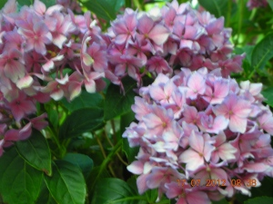 "Hydrangea macrophylla ""Pink Elf,"" the first hydrangea self ever purchased -- from Redwood Nursery, 15 years ago"