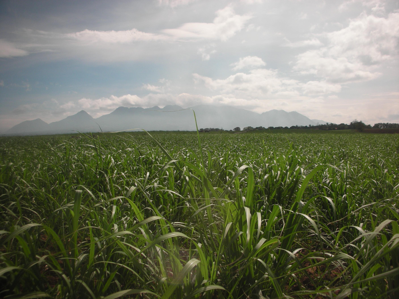 バコロドの平野に広がるさとうきび畑