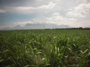 Negros Occidental:  A field of sugar cane, somewhere between Bacolod City and Murcia