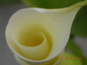 Calla Lilly, side yard