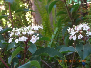 Viburnum Tinus --  bought this one a couple of years ago, planted it in side yard, and it's just been spurting