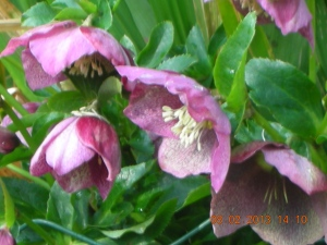 "Helleborus ""Courage"" --  This was self's first helleborus."