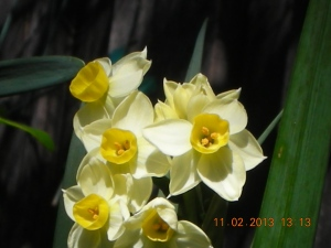 Daffodils!  Self planted them BEHIND the Alstroemeria Third Harmonic, My Bad