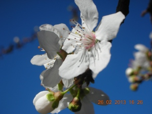 Cherry Blossoms!  One of the cherry trees in self's backyard began blooming last weekend.