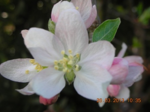 """It was only after she went to El Mercadito Latino last Sunday that she found out her small apple tree is a """"Hawthorne"""" --  the market had bottles of tiny apples, exactly like the ones this small tree produces every year."""