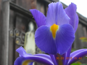 Powder Blue Crested Iris, suddenly presenting in backyard!
