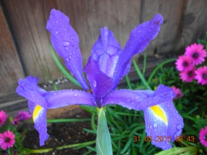 More Irises Blooming Today!