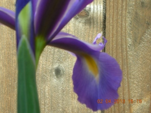 Powder-Blue Crested Iris:  Self thinks she's in love!