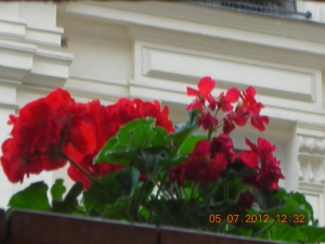 Geraniums on the balcony of a friend's apartment in Paris