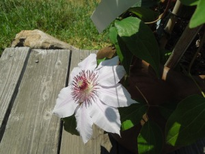 A clematis she bought in early spring (from Regan's Nursery in Fremont) has one big, white bloom!