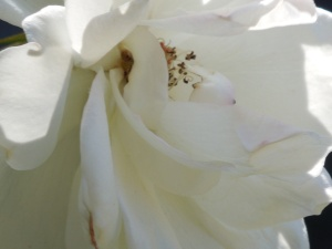 Ready for Her Close-up:  Iceberg Rose 2