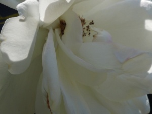 Her Iceberg Rose: Petals Soft as Pillows