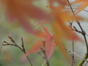 Maple trees: front yard