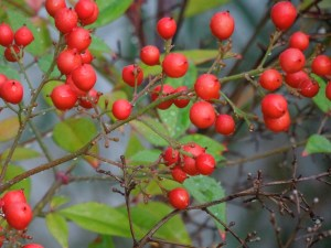 The reddest of berries: front yard