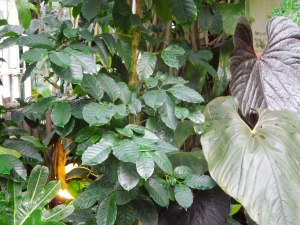 Arabica Coffee Plant, San Francisco Conservatory of Flowers, Golden Gate Park