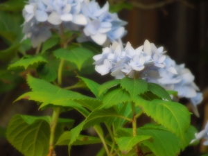 "Hydrangea ""Nikko"" Blue, grows in a pot in self's backyard."