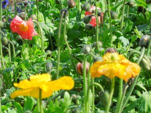 Poppies!  These were in front of the Conservatory of Flowers in Golden Gate Park, last month.