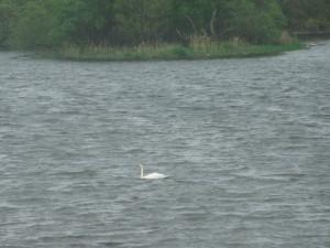 Sighted Yesterday, on the Way to Annaghmakerrig: A determined swan powers its way across a wide lake, in blustery winds.