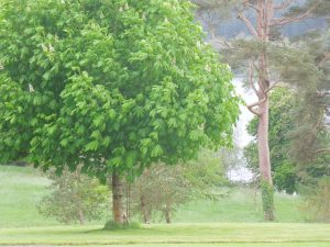 Gingko Tree, by the Main House at the Tyrone Guthrie Center, Annamakherrig
