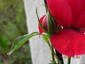 Miniature Rose, Front Porch
