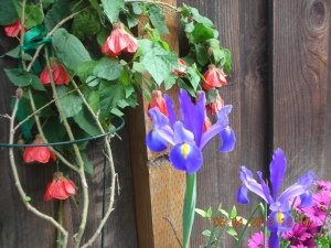 Abutilon and Irises, Self's Side Yard