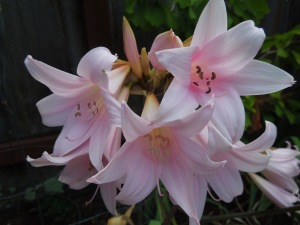 "Amaryllis belladonna, otherwise known as ""Naked Lady"" for its complete absence of foliage. These usually only get going in August."