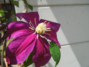 "Backyard:  Clematis ""Niobe"""