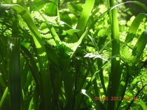 Ferns and Grass:  Hawthornden, June 2012