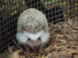 Self seems to have terrified this adorable little hedgehog, huddled in a pen in the San Francisco Zoo.