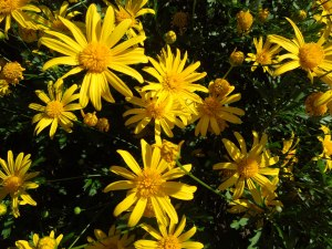 Euryops (Bush Daisy), one of self's most reliable plants