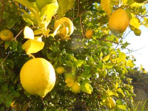 This magnificent lemon tree grows in a friend's backyard in Benicia.