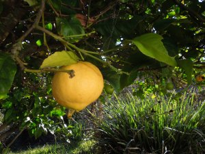 The lemon tree in the backyard has the biggest, fattest lemons, almost the size of grapefruit!