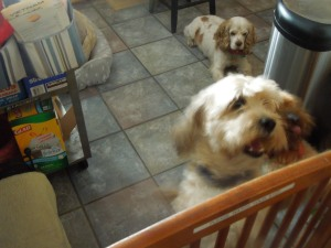 Looks like Connie's Li'l Crits are hungry! Her dogs' names are Bauer (after Jack Bauer of the TV show 24), Kobe, and Macho.