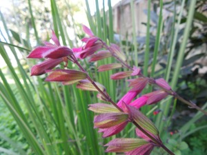 Backyard: Self used to know the name of this perennial . . .