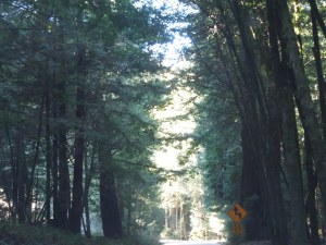 Heading to 1 (and the California Coast) on CA-128: Giant Redwoods