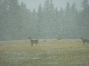 Swear this will be the LAST snowy elk picture!
