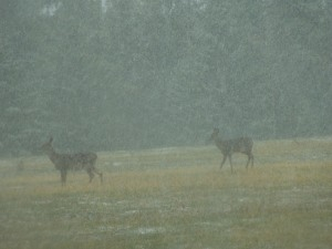 Long View of What Appear To Be Baby Elk