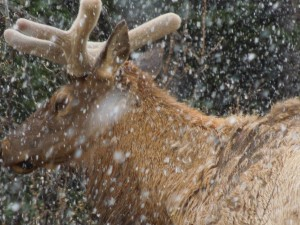 Sorry if this is a repeat of last week's elk sighting. Something about the snow adds immeasurably to the viewing experience, in self's humble opinion.