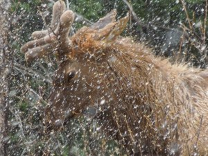 First Elk Sighting -- EVER!