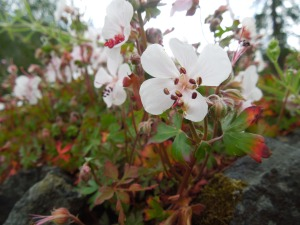 Flowers growing from atop a low stone wall . . .