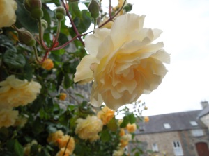 Roses near the Farmyard Cottages at the Tyrone Guthrie Centre in Annaghmakerrig: June 2015