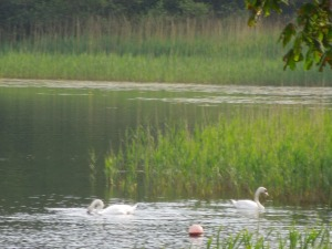 Two Swans!