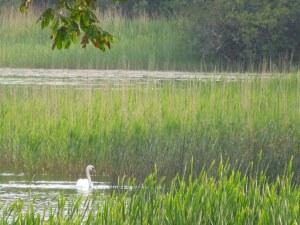 Swan Sighting at the Lake!