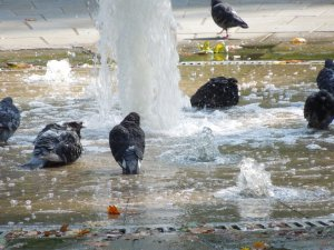 A Confabulation of Birds at the Russell Square Fountain
