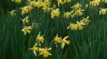 Drifts of Daffodils All Over